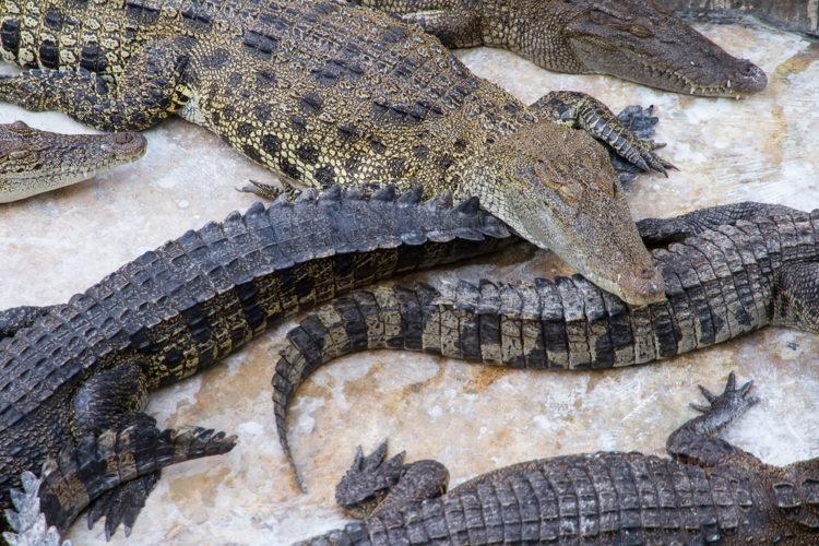 Крокодиловая ферма-зоопарк Самутпракан - достопримечательности Бангкока