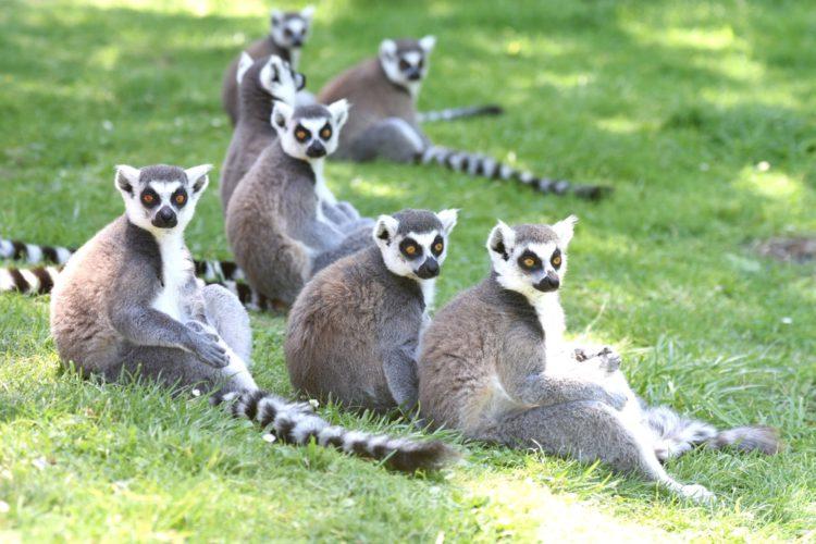 Лемуры — символ Мадагаскара - достопримечательности Мадагаскара