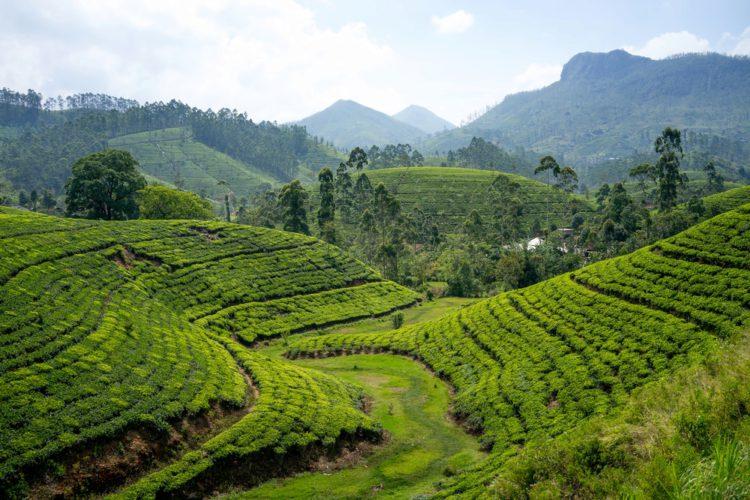 Чайные плантации Нувара Элия - достопримечательности Шри-Ланки