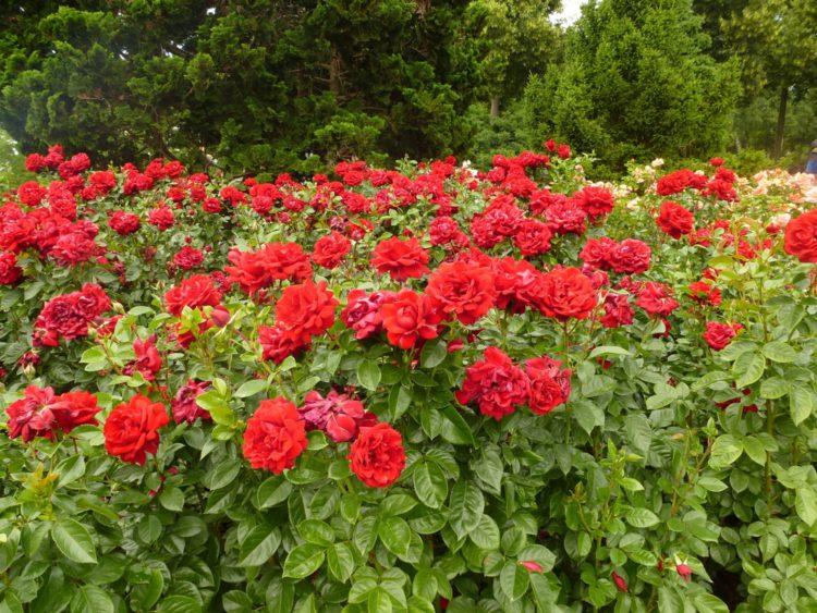 Сад роз - достопримечательности Берна