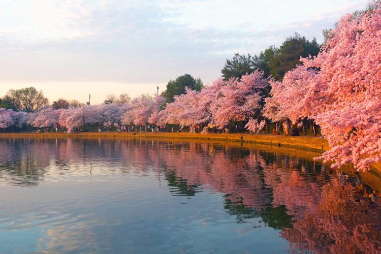 Фестиваль цветения сакуры - Что посмотреть в Вашингтоне