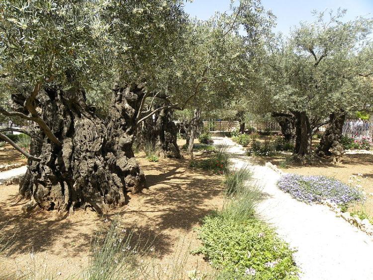 Гефсиманский сад - что посмотреть в Иерусалиме