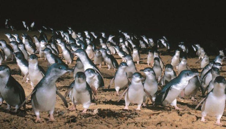 Парад пингвинов в Австралии
