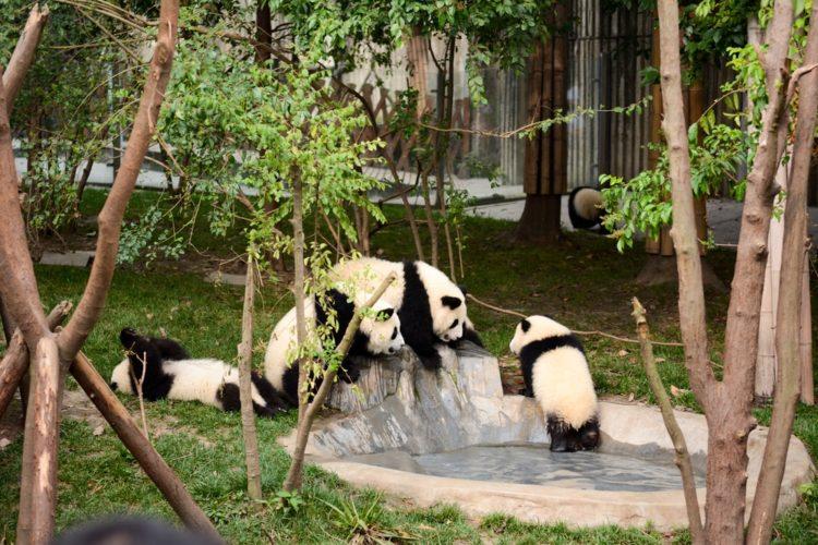 Исследовательский питомник гигантских панд в Китае