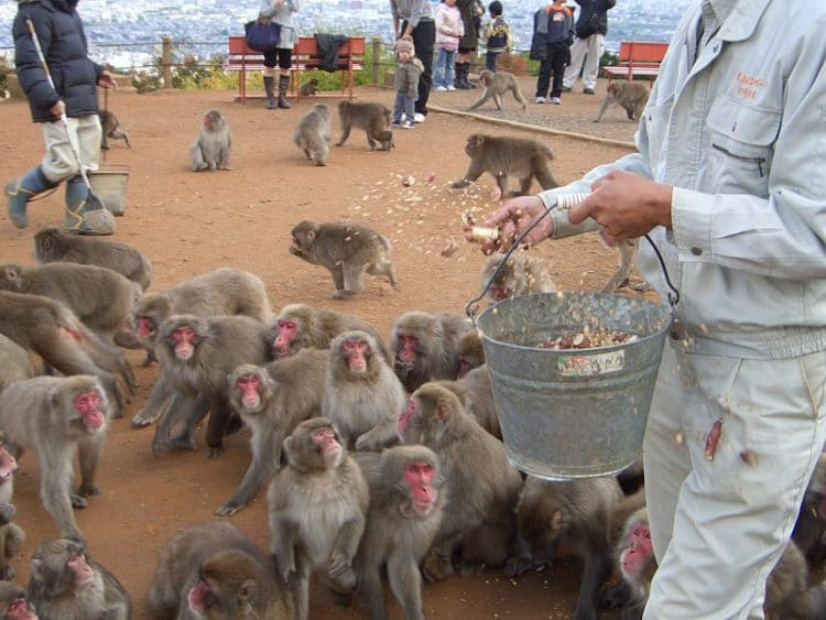 Парк обезьян Иватаяма в Японии